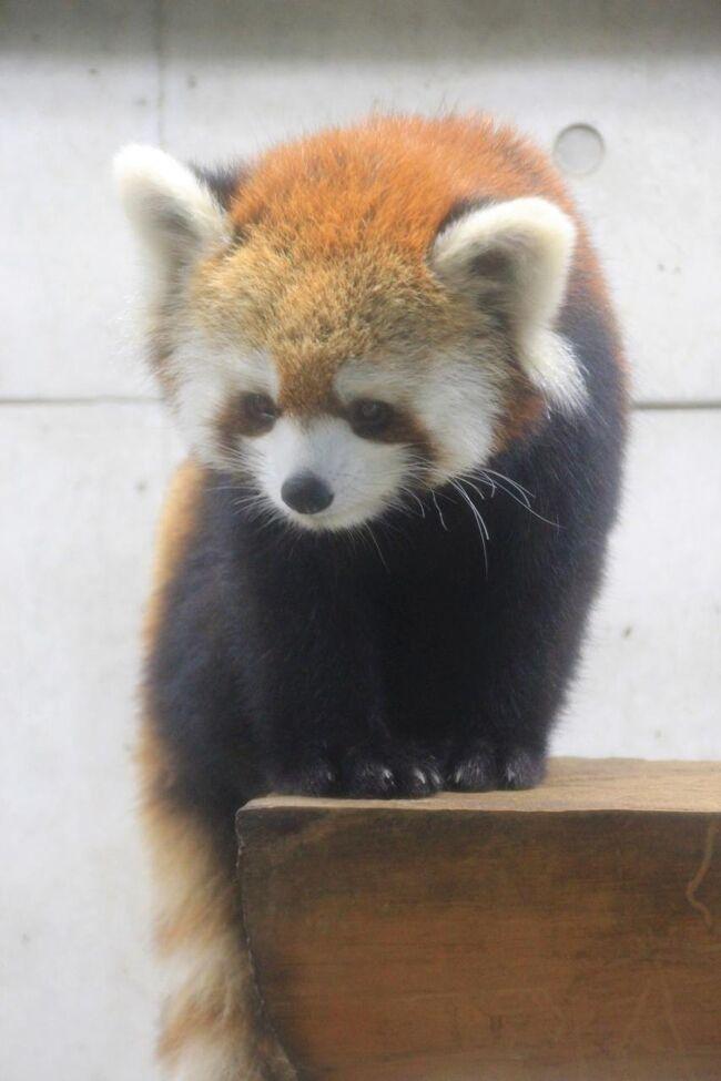 これまでに作成した旅行記の目次は、それぞれテーマ別にURL集を、関連ある旅行記の目次や末尾にリストアップしています。<br />そのうち、動物/動物園と水族館の旅行記は、2013年1月現在、まださほど多くなく、でも今後増えそうなので、目次を作成してみました。<br /><br />動物園めぐりに夢中になり始めたのは、2012年1月2日に初めて一眼レフを手に入れ、コンデジと違い、シャッターを押してからシャッターが切れるまでの反応の速さから、動物撮影がしやすいと実感してからです。<br />カメラにおける新しい楽しみを見つけたわけです。<br />それから、レッサーパンダLOVE度が急速に高まったせいです@<br /><br />それ以前から撮影のメインテーマだった花撮影も、今でもやっぱり好きなので、目当ての花のシーズン中は動物園とどちらに行こうか悩みます。<br /><br />でも、動物園は、雨でなければ、天候や日照状況があまり関係ないこと、目当ての動物が出ているかいないかは別として、花と違って開花状況をチェックする必要がないことから、目当ての花が見頃でないときや天候状況がいまひとつのときには、動物園が格好のターゲットとなりました。<br /><br />目次は時系列で作成し、新しい順に掲載しています。<br />レッサーパンダ写真のある旅行記にはタイトルの末尾に★印をつけました。<br />動物写真がメインの旅行記のURL集ですが、レッサーパンダ遠征先で、動物園内のいろんな写真を含めた前泊編の旅行記を含めている場合もあります。<br /><br />(表紙の写真は、ちんまり可愛いポーズをとってくれた、埼玉こども動物自然公園のハナビちゃんです。)<br /><br />※8月最終週末は猛暑でまいってしまって撮影散策をお休みしたので、8月終わる前ではが、2018年7月と8月分の動物旅行記のURL集を追加しました。