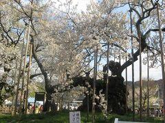 日本の花紀行・桜の名所をたずねて−(2)関東甲信越編