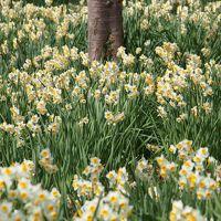 一足早い春を求めて・・・江月水仙ロードを散策 ~清楚な白色の花の絨毯~