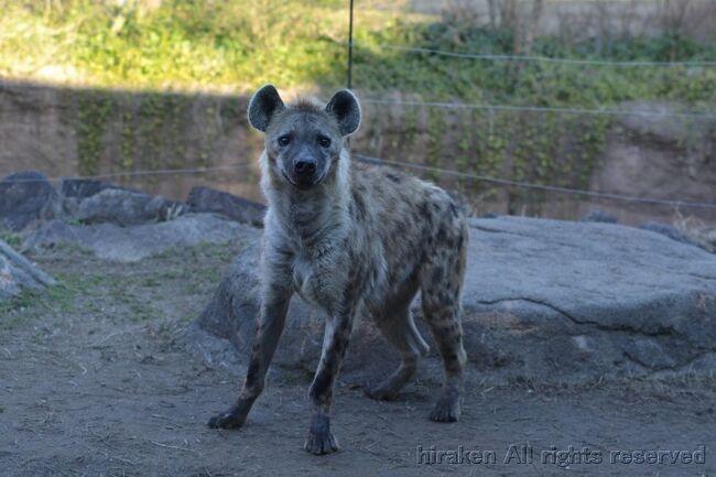 個人サポーターは最低一口5千円からなれます。10回の入園つき。<br />その企画に動物園の一般客では入ること・見ることのできない場所に案内してもらえます。<br />今回初めて参加したところ、調理場・ライオン山・キリン舎の3か所を見てきました。<br />スタッフの皆さんや参加したサポーターの皆さんは動物を愛している人たちで、とても居心地の良い空間でした。多忙な中、細かいところまで覚えきれない説明をしていただいたり、ライオン山では二人が限度の狭い高い場所からライオンを眺めたり、キリン舎では主がいなくなって少し寂しい場所で、キリンの高さを設備で実感。接客は不慣れそうな飼育員の方の、一生懸命な説明が嬉しかった。アナウンサーのようにスラスラきれいにまとめられたらこの感動は無かったかもしれない。<br /> 質疑応答では、女性から「担当の動物が亡くなった時の悲しみをどのように乗り越えていますか」の質問が。僕も「今朝の11時ごろに見たラッキーなチンパンジーのウンチ投げ」について説明を請いました。<br />来年も是非参加したい。