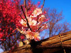 まだまだ二分咲き~大宮第二公園の梅~