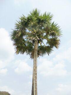 Cambodia クメールの微笑み (21/33) シェムリアップ 砂糖椰子の木(1月26日)