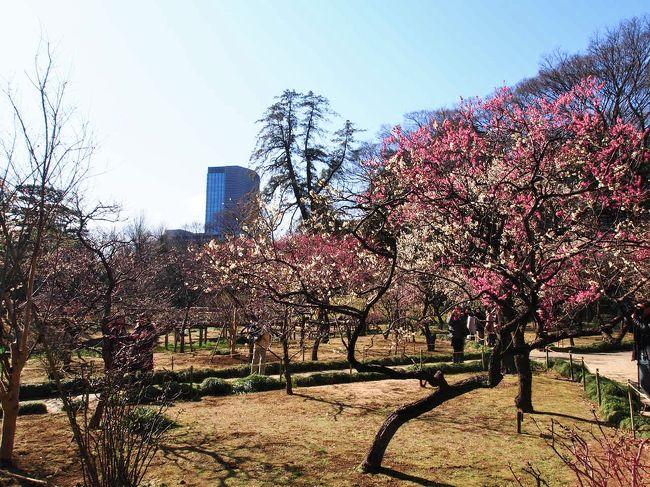 先週の大宮第二公園に引き続き梅を愛でに。<br />今度は小石川後楽園。<br />五分咲きくらいかな。<br />その後都営大江戸線に乗り湯島天神に。<br />夏休み(半年後…)の上海の特典航空券も入手できて後顧の憂いなし。