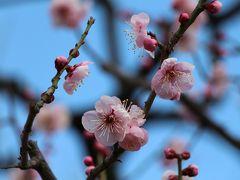 2013 梅の香かぐわしい大阪城梅林