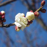 春を告げる少量/超多品種な梅林(フラワーガーデンと諏訪の原公園)