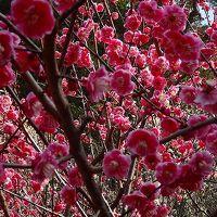 大仁神社へ梅の花を見に行きました。