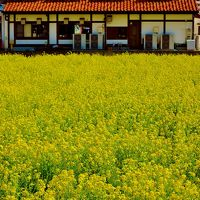 南房総c   菜の花満開 ちばかだん周辺の花畑で ☆ポット苗プレゼント