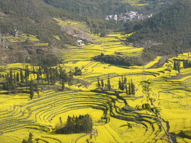 お天気にも恵まれ「羅平の菜の花畑」と「元陽の棚田」を満喫!してきました。<br />カルスト地形の山々と菜の花畑、ハニ族が400年以上かけて作った壮大な棚田の景観、世界的規模のスケールの大きい光景に驚きと感動の連続でした。<br />流石に中国ならではの風景で、とても日本では見られないものでした。<br />世界自然遺産「石林」を観光して、羅平に移動してきました。(移動時間およそ3時間)<br />菜の花が渦巻状に広がる牛街の景色を観光後、金鶏峰の菜の花畑を見学して宿泊地の興義(貴州省)に向かいます。<br /><br />写真は牛街(タニシの畑)の菜の花畑<br />