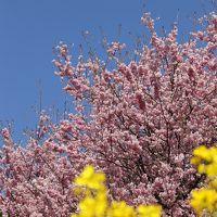 2013年 早春の高知 雪割桜にはしゃぎ シコクバイカオウレンに息を詰める