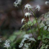 小さな旅●鳳来峡の森で咲く早春の花 コセリバオウレン