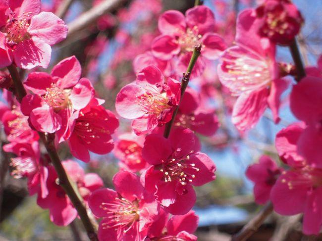 いつか行ってみたいと思っていて<br />そんなに遠くないのだからいつでも行けたのだろうけど、<br />やっと行く事が出来ました。<br />梅の花ってこんなに沢山見たのは初めてでした。