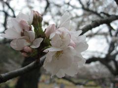 '13 光が丘公園 桜の開花状況を見に行ってみた