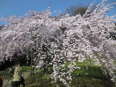今年の桜は早いぞ~2013
