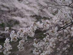 千鳥ヶ淵 桜の名所 2013年3月24日(日)朝7時