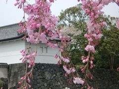 皇居の花見