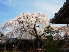 圓明寺の桜&妙感寺の桜(愛知県犬山市)