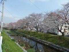 春の小川に満開のさくら花見にゆく!