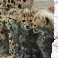 かわいすぎる☆キングチーターの赤ちゃん誕生@多摩動物公園