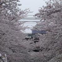 満開の桜観賞