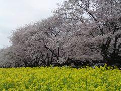 桜をたずねて2013春③西都原