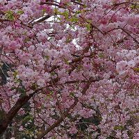真鶴町 お林展望公園の桜