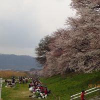 2013年 京都石清水八幡宮と背割堤地区の桜
