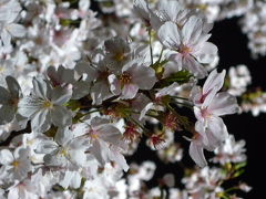 調布☆野川の桜ライトアップ2013年