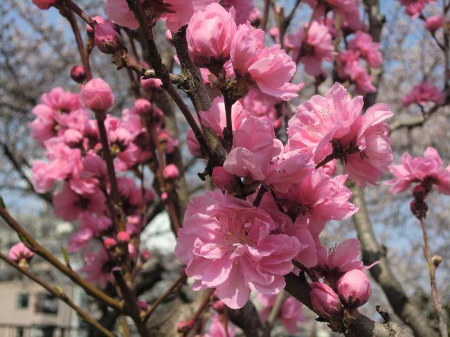 3月30日(土)大阪城公園へ夫とお花見散歩です!<br /><br />晴れて暖かいし、とにかく桜も桃もばっちりの見頃♪♪<br /><br />桃の花をこんなにたくさん見たのは初めて。<br /><br />白やピンクのかわいらしい花々は、春の楽しさいっぱい\(^o^)/