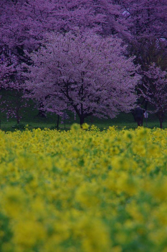 今日は桜のシーズンにはじめて、幸手権現堂に行きました。<br />早朝朝は雨から曇りと青空は望めませんでしたが、桜並木のすごさと菜の花畑とにかく綺麗でした。。