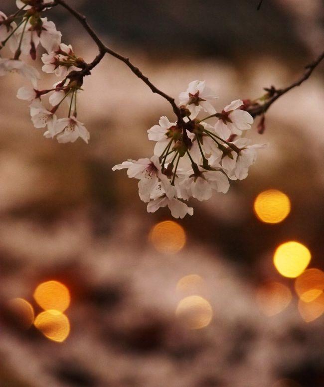明日日曜の天気予報は雨・・・。珍しく私が土曜にお休みをとったので、今日のうちに、地元の桜の名所にも行っておきたいな〜。<br /><br />昨年、ひとりで見に行った牛久市のシャトーカミヤの園内は、このあたりでは桜の名所である。<br /><br />シャトーカミヤ本館などの建物は、日本最初期の本格ワイン醸造所施設として、国の重要文化財に指定されている。<br /><br />明治36年に建てられた煉瓦造りのステキな洋館は、2011年の東日本大震災により、煉瓦壁体に亀裂が入ったり、はがれ落ちたり・・と著しい被害を受けた。<br /><br />昨年春に訪れた時には、その痛々しいままの姿をさらけ出し、近づくと危険なので、本館などの建物はフェンスで囲まれていた。その後、修復がどうなっているのか・・と気になっていたが、1年ぶりに訪れてみることにした。