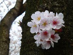 2013 麻生川&鶴見川の桜