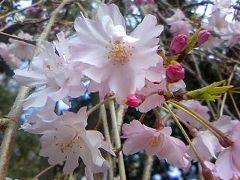 靖国の桜と渋谷ランチ