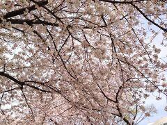 桜の大阪城公園 と ニューオータニ大阪 (ジュニア・スイート) で花見酒