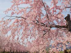 ゆとりーとラインで行く東谷山フルーツパーク 青空に映える枝垂桜 ピンク色に染まった公園を歩こう