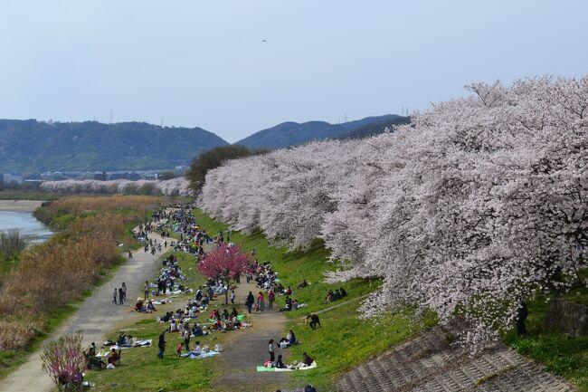京阪電車・八幡市駅から往復2.8kmで3川合流地点まで行ける。<br />満開の桜に、たくさんの人出でにぎわいました。