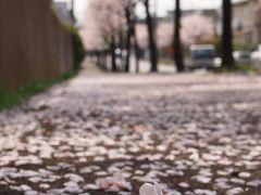 ☆しばしの見納め・・・ご近所の道路の桜並木を愛でに・・・☆