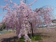 春爛漫2013 平和公園 ピンクのしだれ桜