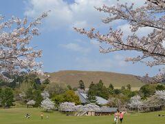 桜満開の奈良公園と散り初めの氷室神社