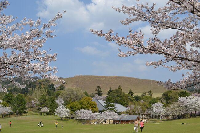 青空に白い雲、最高の天気。近鉄・奈良駅を出てすぐに柿の葉寿司(6個入り・760円)を買って、まずは飲み屋さんで話題になった氷室神社へ。ここは残念ながらほとんど散っていた。次に若草山に近い広い公園に。ここのソメイヨシノはこれ以上ない満開だった。家族づれで賑わっていた。明日の「まほろばフェスタ」(苺のあすかルビーなど名産の販売や催し)の準備でステージやテントが設営されていた。天気予報では土日に崩れそうなので、一日繰り上げて!!と言いたいほどの今日は良い天気。<br /> 母子の鹿にも出会えてたくさん写真を撮ってきました。