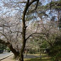 四国のサクラ(香川・琴弾公園)