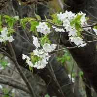 お散歩:町田 野津田の春