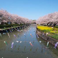 ギネスブックに載っている鯉のぼりと満開の桜/群馬・館林