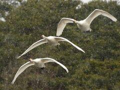 越後村上 晩冬 御幕場大池の白鳥