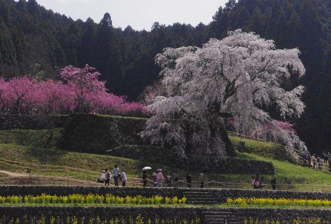 絶好の花見日和<br />奈良の桜巡りに<br /><br />満開の桜に出逢えて♪<br />自然の中の大和路の春爛漫<br />堪能して来ました。