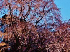 六義園b しだれ桜のライトアップ最高潮! ☆開催翌日にはや散り始め