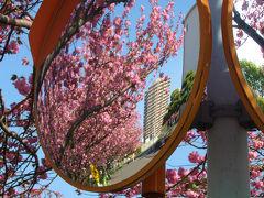 東京都 北区 赤羽台団地の八重桜 満開