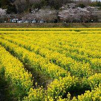 京田辺市の菜の花(観音寺)&サクラ(馬坂川)