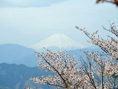 高尾山健康登山(1) 桜、富士山