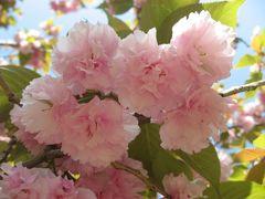 '13 山手線さんぽ 代々木編(新宿御苑の八重桜・DADA CAFE・鳩森八幡神社・金魚カフェ)