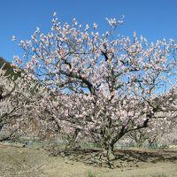 あんずの花と桜と温泉と